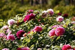 Flowering Luoyang peony bush. Luoyang peony bush flowering in sunny green garden stock photo