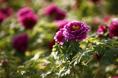 Luoyang peony flowers. Close up of pink Luoyang peony flowers on green leafy bush in sunny garden royalty free stock photo