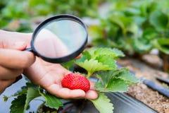 Lupa fêmea da terra arrendada da mão que verifica a planta de morango fotos de stock