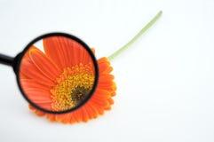 Lupa que muestra los detalles de la flor Fotografía de archivo