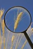 Lupa y espiguillas del grano Foto de archivo