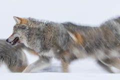 lupi Fotografia Stock