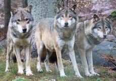 lupi fotografia stock libera da diritti