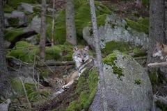 Lupi che riposano sulla roccia fotografie stock