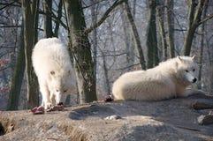 Lupi del lupo Fotografia Stock