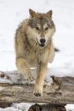 Lupi della tundra immagini stock libere da diritti