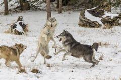 Lupi della tundra fotografia stock