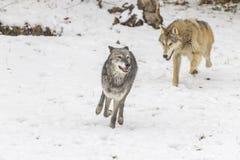 Lupi della tundra fotografie stock libere da diritti