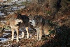 Lupi in foresta bavarese Immagini Stock