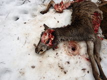Lupi lacerati dei cervi, Fotografie Stock