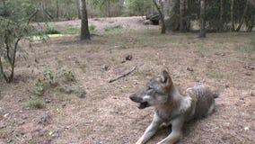 Lupi nelle grande all'aperto video d archivio