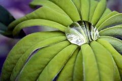 lupin листьев Стоковые Фотографии RF