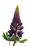 Lupin 03 Stock Photography