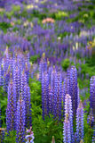 Lupin. Field blooming in spring in southern Chile Royalty Free Stock Image