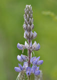 Lupin. Growing in a field in Idaho Stock Photos