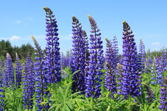 Lupin. Flowers (genus us) in Poland. Flora in Europe Royalty Free Stock Photography