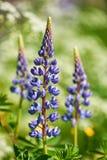 Lupin bleu coloré Photos libres de droits