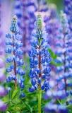 Lupin bleu coloré Photo libre de droits