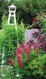 Lupin Blooming in the Summer Garden royalty free stock photography