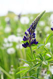 Lupin blossom Stock Photo