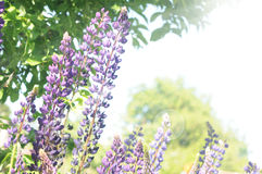 Lupin blossom Royalty Free Stock Photography