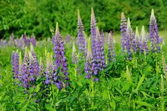 Lupin. Blue lupin flowers in nature Royalty Free Stock Images