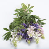 Lupin bouquet Royalty Free Stock Image