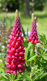 Bright red Lupin flowers and plant in Jersey, Unit Stock Photo