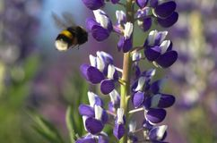 Lupin and Bumblebee. A lupin flower with an approaching bumblebee Stock Photos