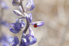 Lupin de Wildflower de coccinelle Photographie stock libre de droits