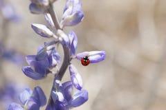 Lupin de Wildflower de coccinelle Photographie stock libre de droits