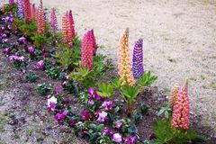Lupin Royalty Free Stock Photography