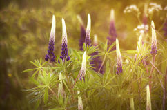 Lupin in evening. Lupin starting to bloom in early June Royalty Free Stock Photos