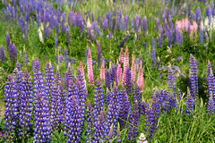 Lupin Field. Blooming in spring in southern Chile royalty free stock photos
