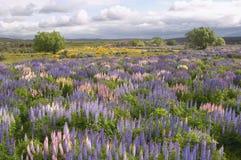 Lupin field Stock Image