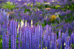 Lupin Field. Blooming in spring in southern Chile Royalty Free Stock Images