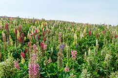 Lupin field and blue sky Royalty Free Stock Image