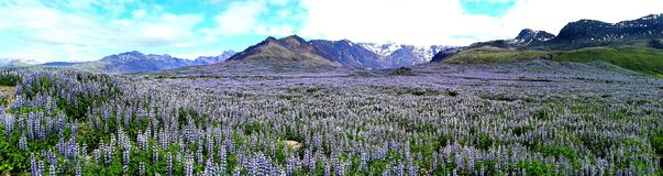 - lupin field - Stock Photography