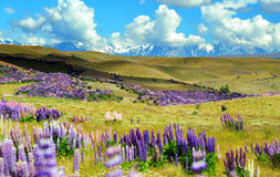 Lupin field in New Zealand Royalty Free Stock Photos