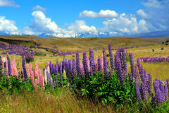 Lupin field in New Zealand Royalty Free Stock Image