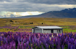 Lupin field in New Zealand Royalty Free Stock Images