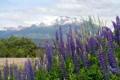 Lupin Field in Patagonia. Lupin field blooming in spring in southern Patagonia in Chile Royalty Free Stock Photography