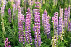 Lupin field with pink purple and blue flowers stock photos