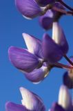 Lupin Flower. A macro image of a couple of lupin flowers agains clear blue sky Royalty Free Stock Photography