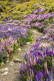 Lupin flower field on Lindis Pass Stock Photos