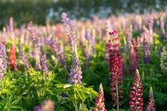 Lupin flower meadow in Furano farm stock image