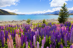 Free Lupin Flowers Royalty Free Stock Image - 19147346
