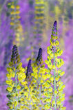 Lupin flowers Stock Photo