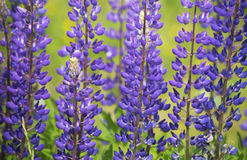 Lupin. Flowers genus us in Poland. Flora in Europe Stock Photography