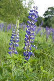 Lupin flowers (genus Lupinus) on sping meadows Royalty Free Stock Photo